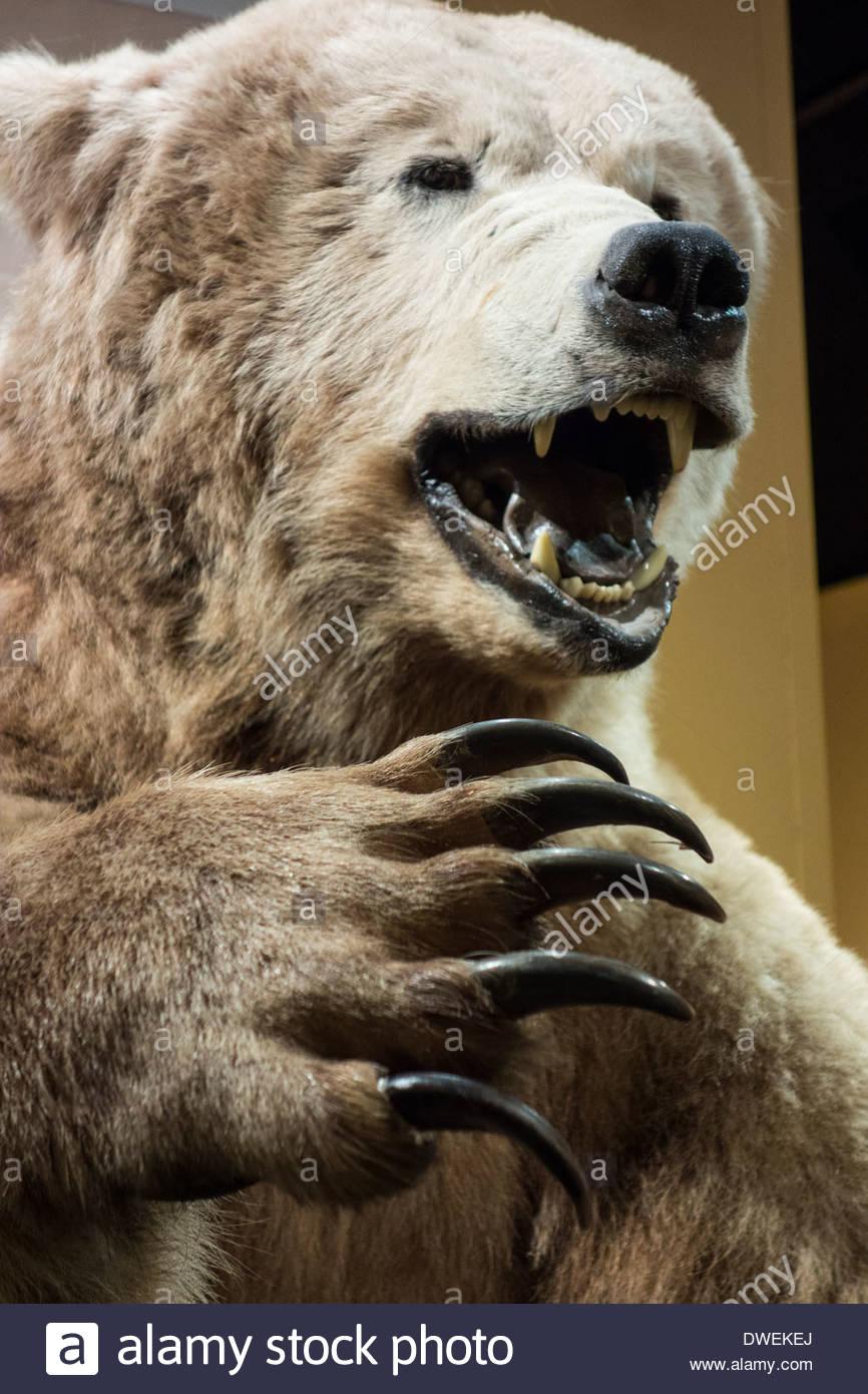 California state symbol bear stock photos california state stuffed california grizzly bear in museum of natural history santa barbara california usa stock image buycottarizona