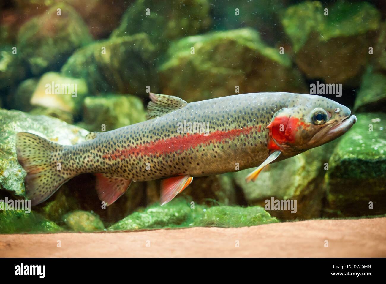 Fish aquarium edmonton - A Male Rainbow Trout Oncorhynchus Mykiss In An Aquarium At The Royal Alberta Museum In Edmonton Alberta Canada