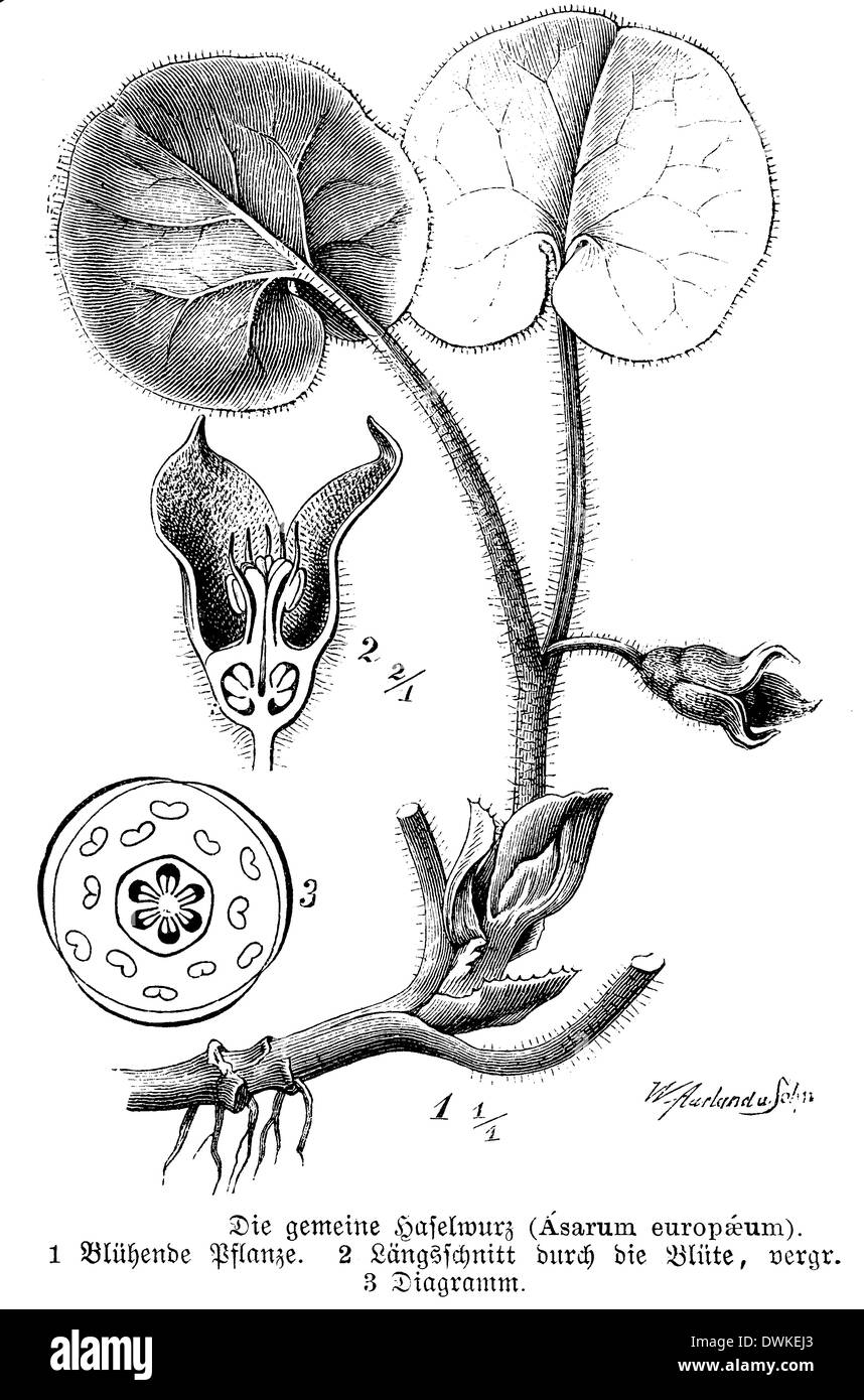 European wild ginger hazelwort with flowers and flower diagram european wild ginger hazelwort with flowers and flower diagram and longitudinal section through flower pooptronica Images