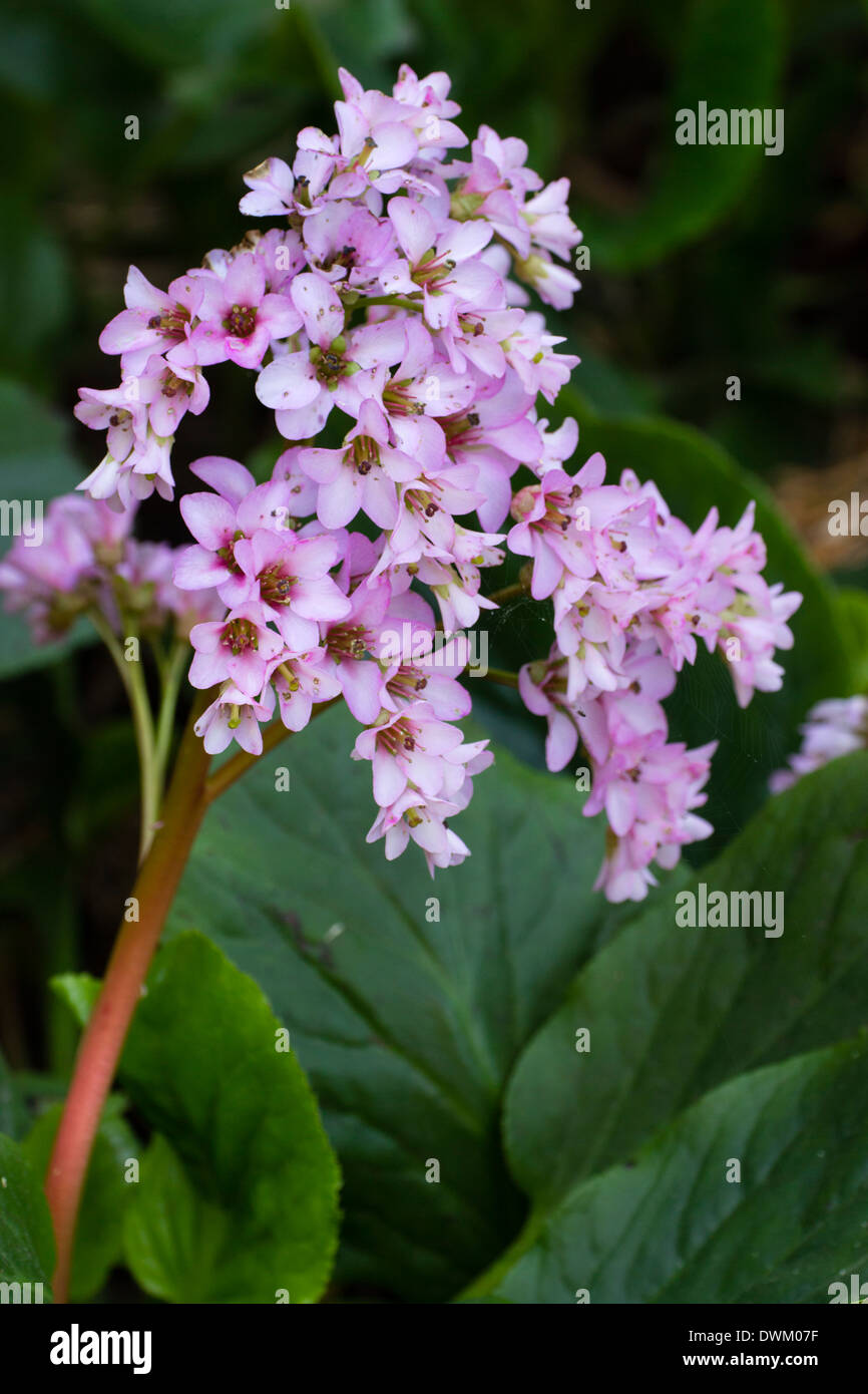 Early spring flowers of the evergreen perennial, Bergenia ...- photo #50