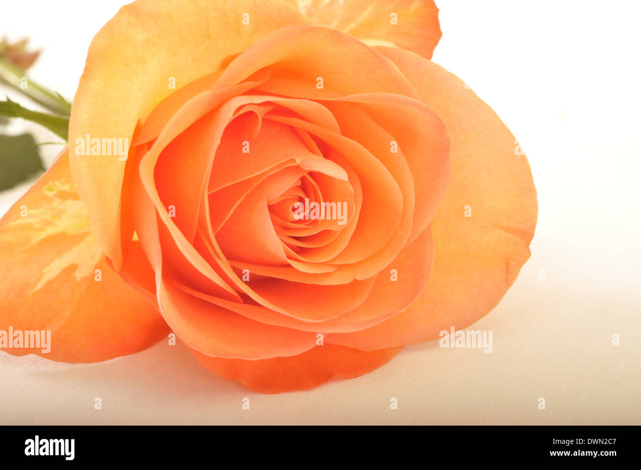 Light orange roses background gallery for The meaning of orange roses
