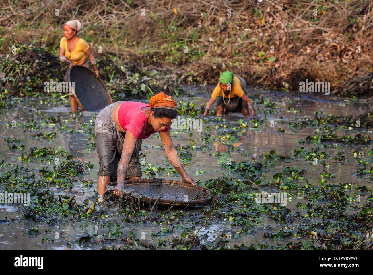 Women from the mishing tribe fishing in a fish pond for Koi pond india