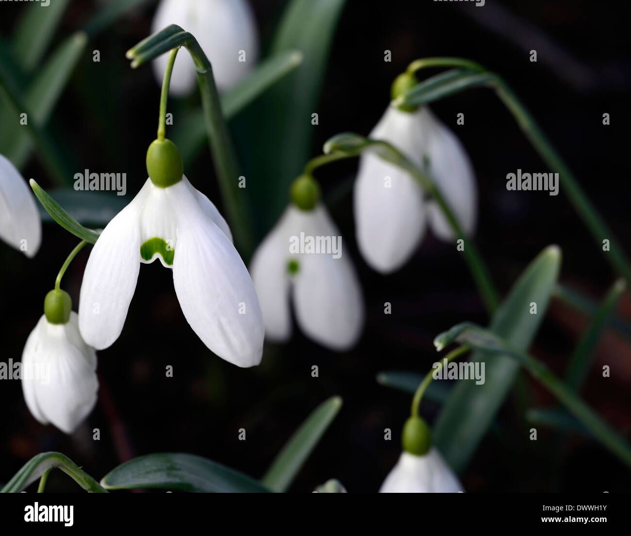 Galanthus bill bishop white flowers green markings flower bulbs galanthus bill bishop white flowers green markings flower bulbs snowdrops spring flowering mightylinksfo