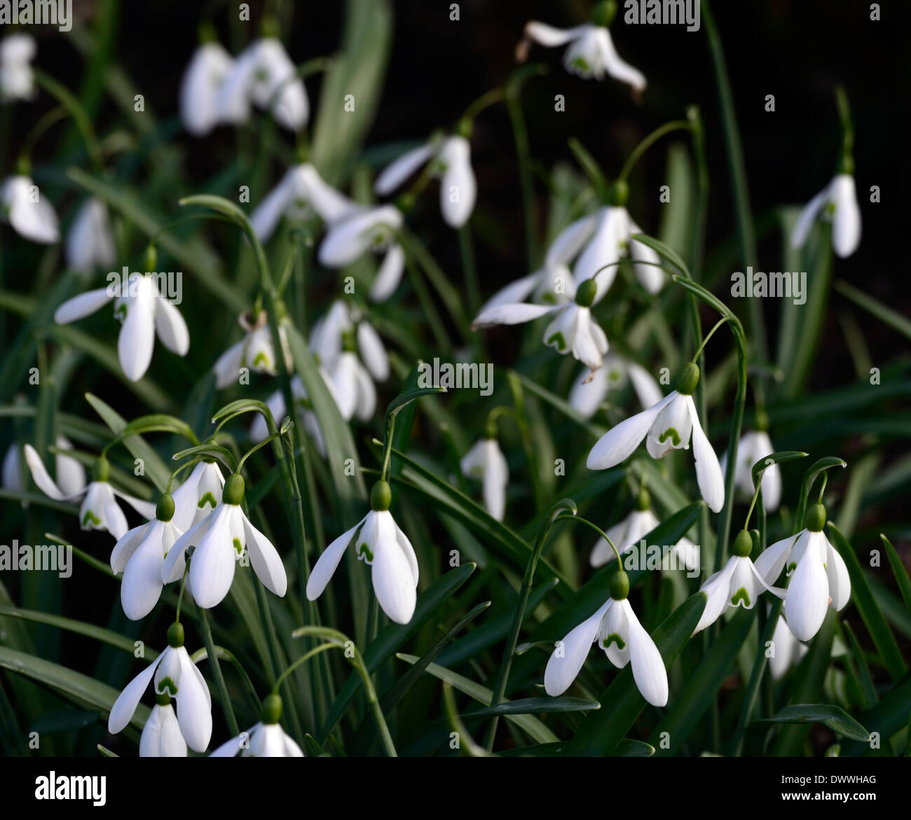 Galanthus magnet snowdrop white flowers green markings flower bulbs galanthus magnet snowdrop white flowers green markings flower bulbs snowdrops spring flowering bloom mightylinksfo
