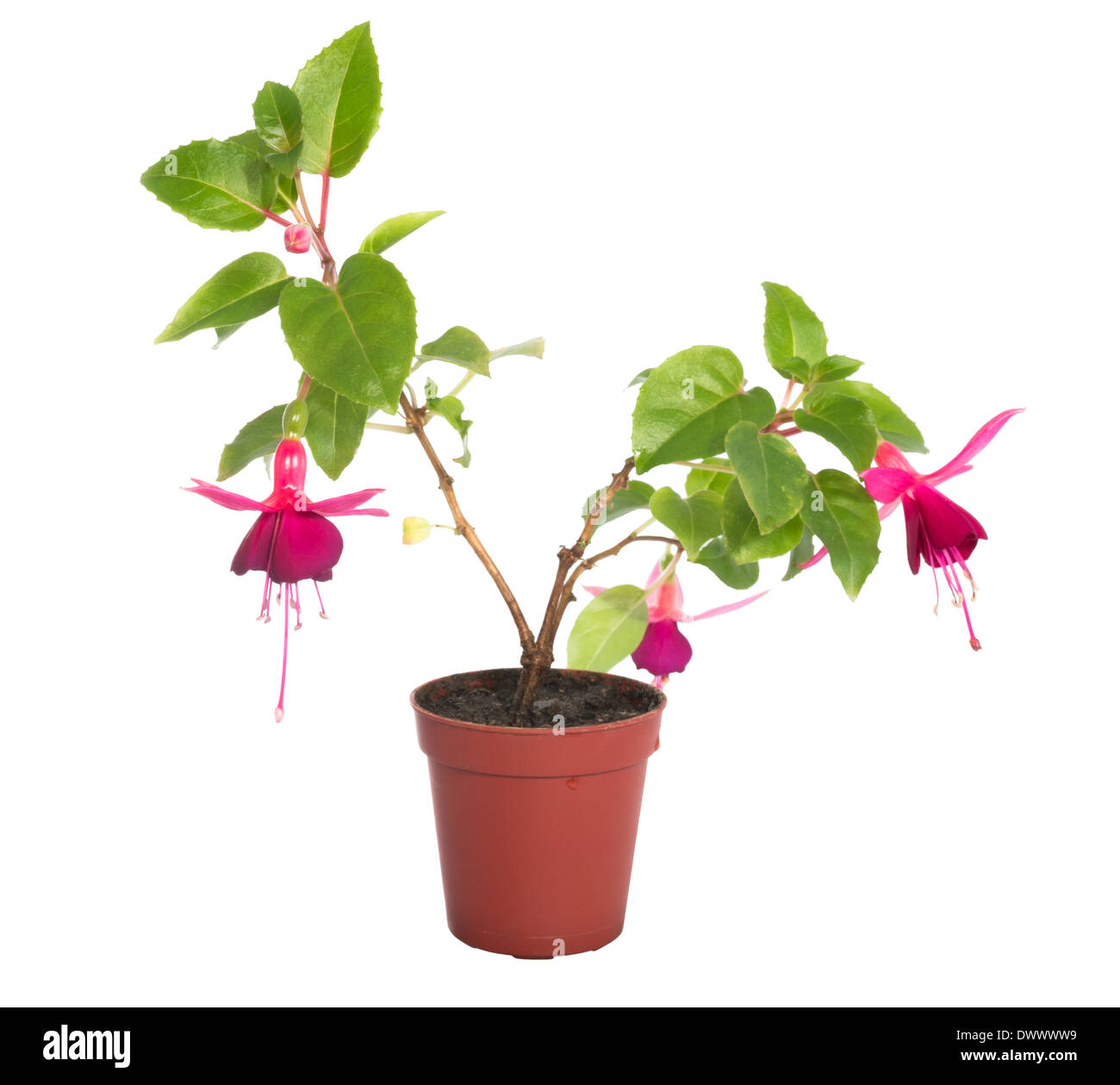 red fuchsia flower houseplants in flower pot isolated on white background - White Flowering House Plants