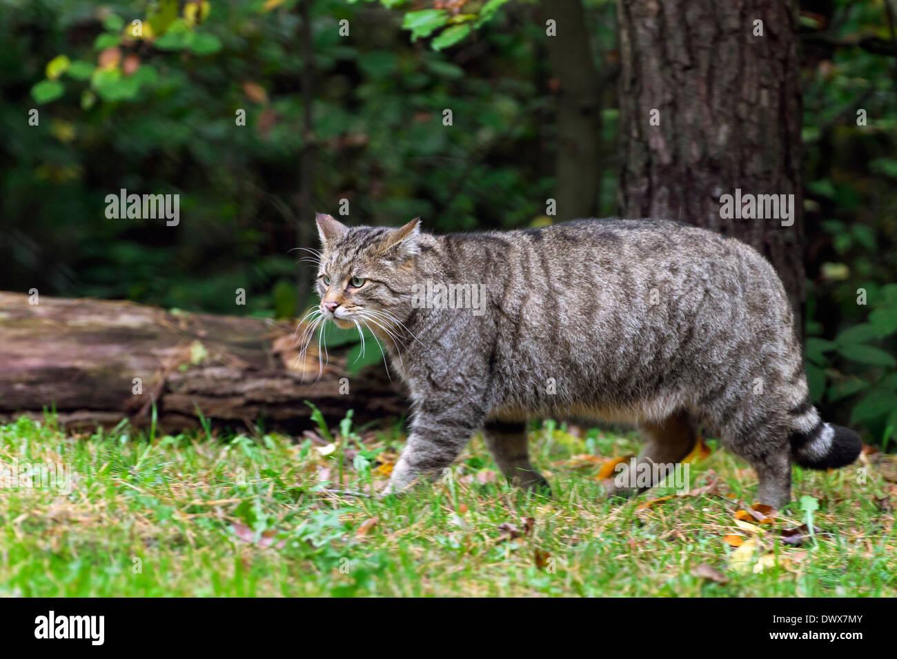 European wildcat (Felis silvestris silvestris) walking in