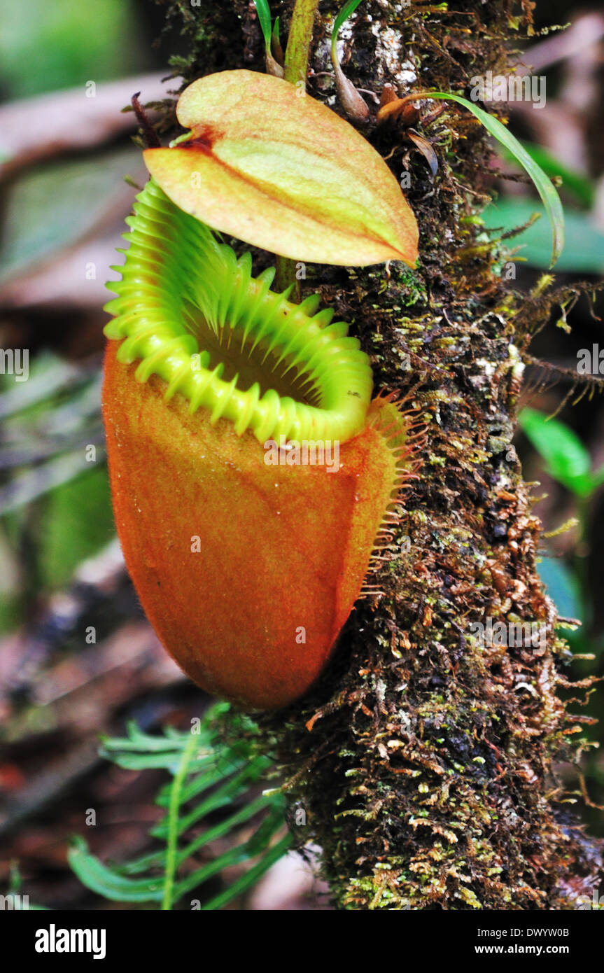 Nepenthes villosa