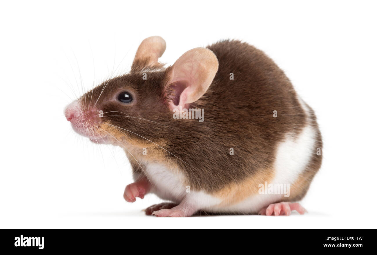common house mouse mus musculus in front of white