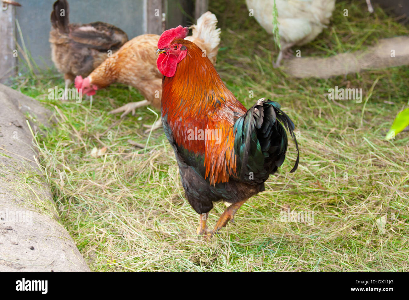 beautiful black red with a red crest and brown chicken hen