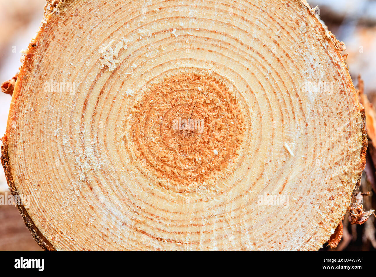 Annual rings on sawn pine tree timber wood texture Pine tree timber