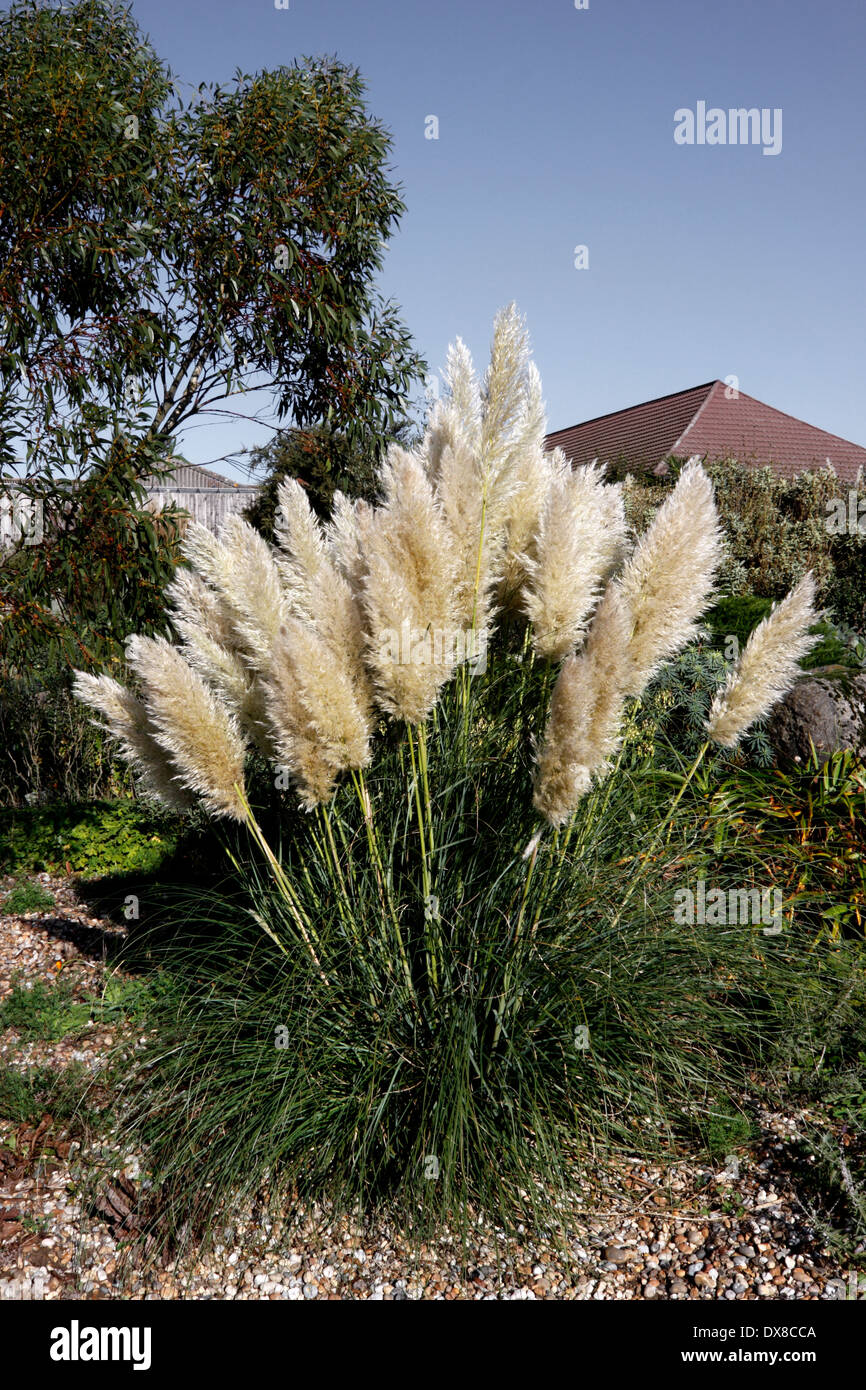 cortaderia selloana rendatleri pampas grass tussock. Black Bedroom Furniture Sets. Home Design Ideas