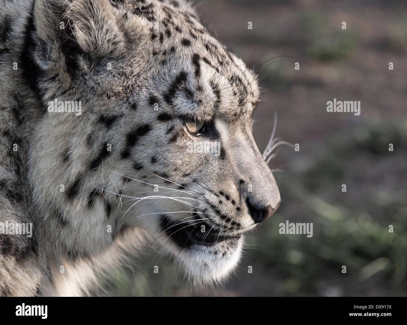 snow leopard snow leopard snow leopard face view predator HD wallpaper