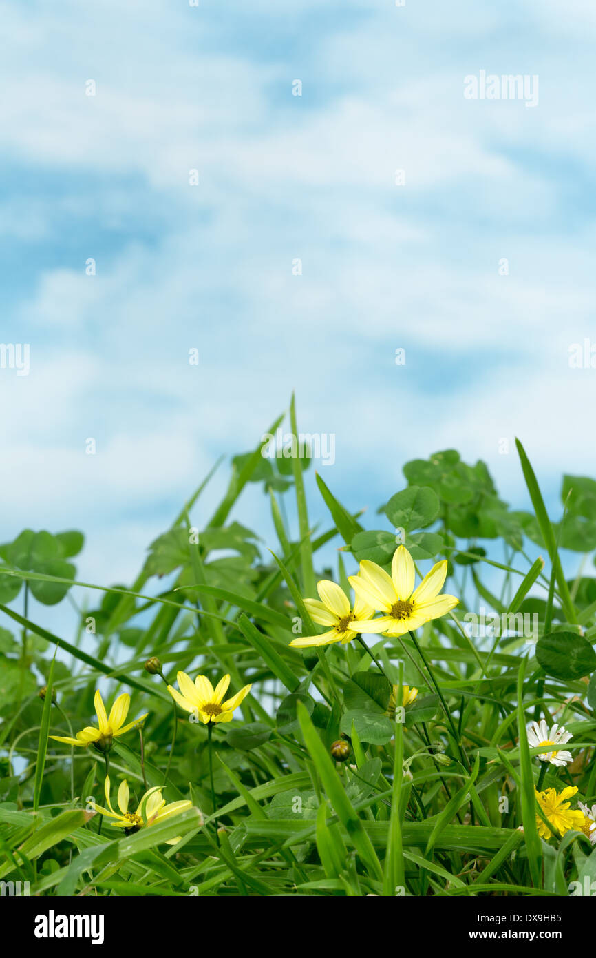 Clover And Little Yellow Daisy Flowers In Grass With Copy Space