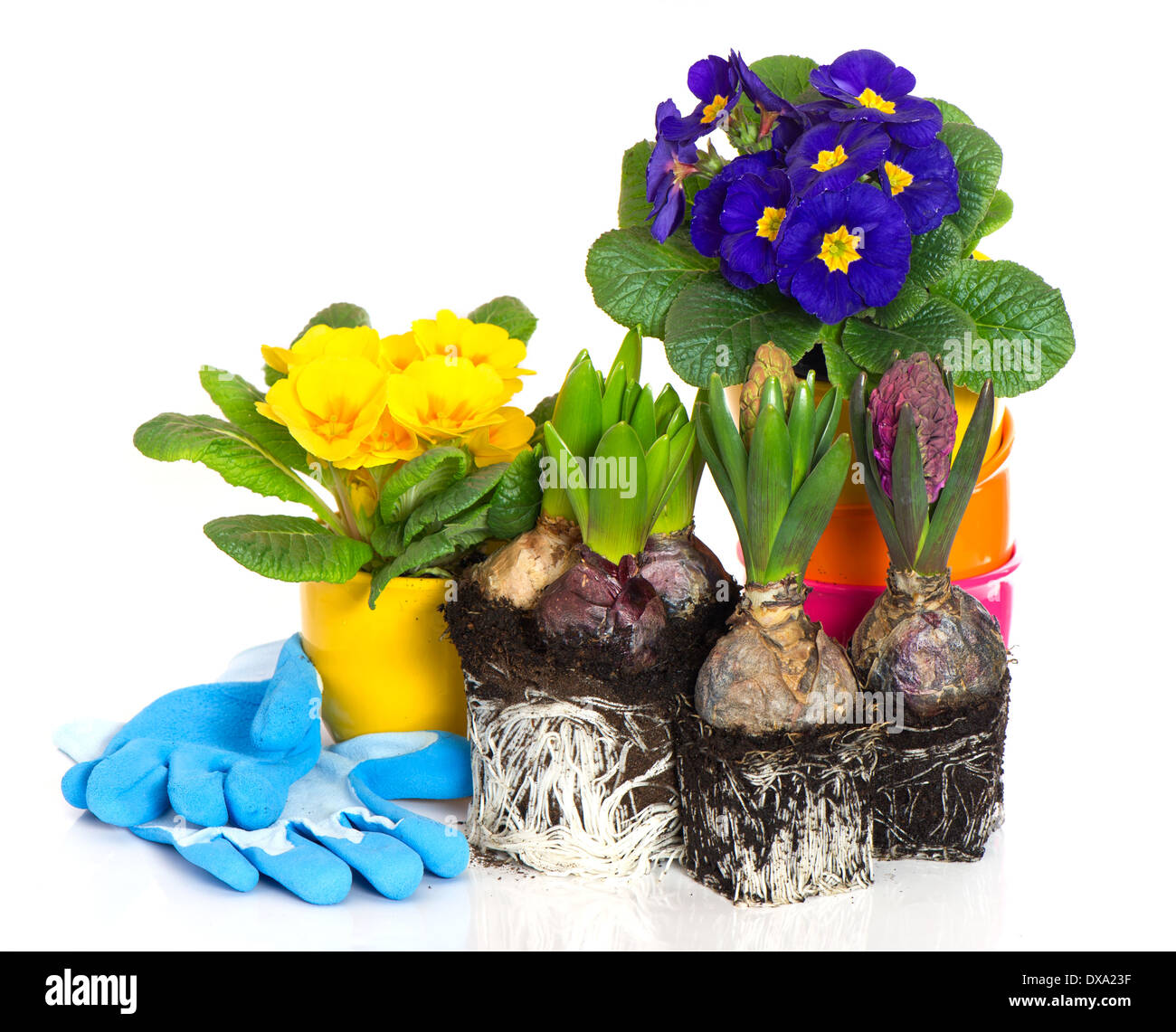 Spring Flowers Hyacinth And Primula On White Background Gardening