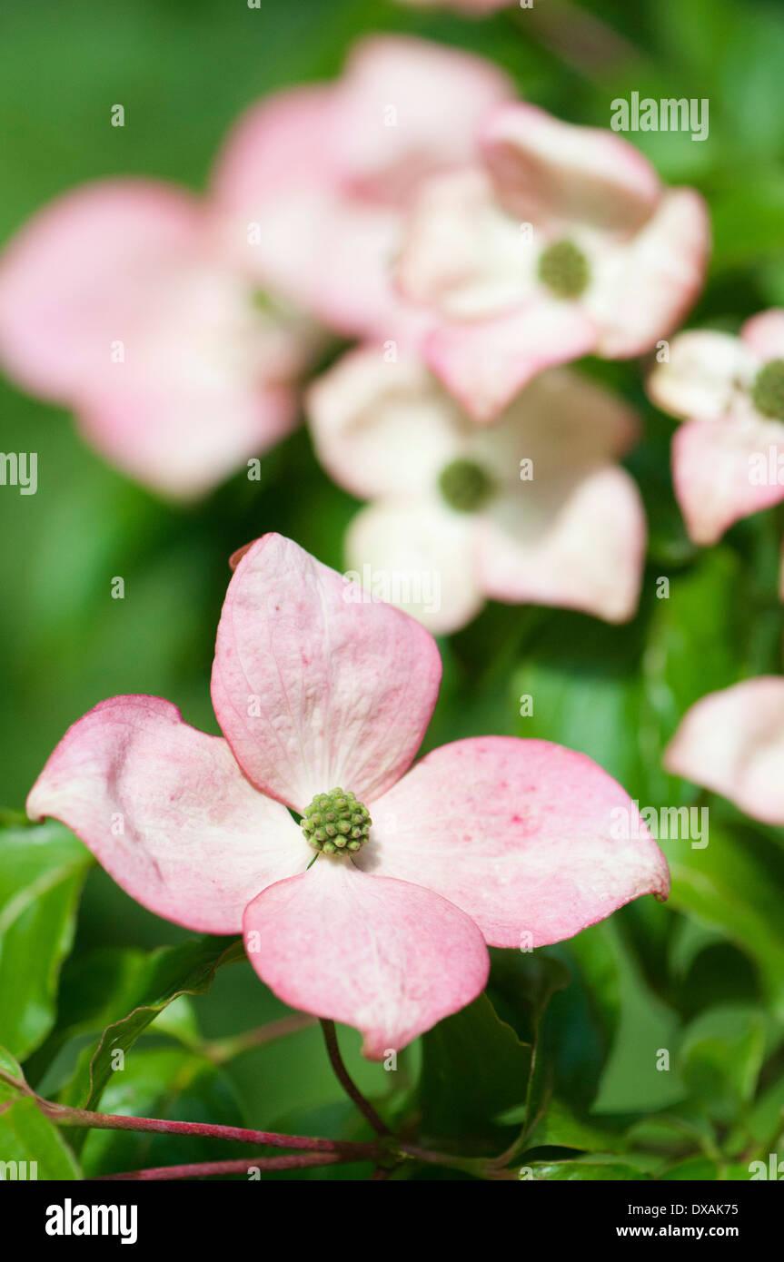 flowering dogwood cornus florida single flower with. Black Bedroom Furniture Sets. Home Design Ideas