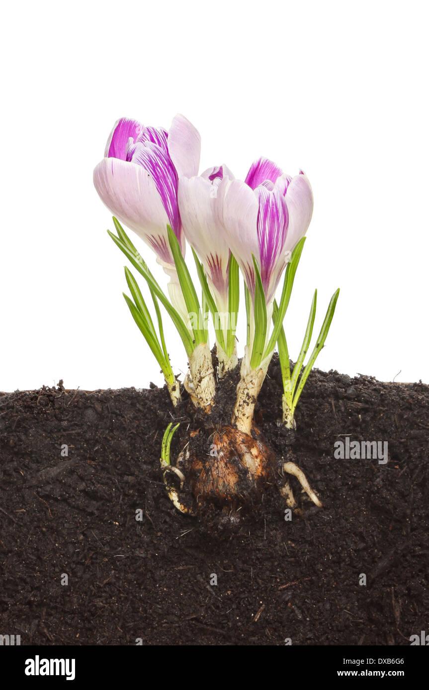 Цветок крокус (шафран фото) 5