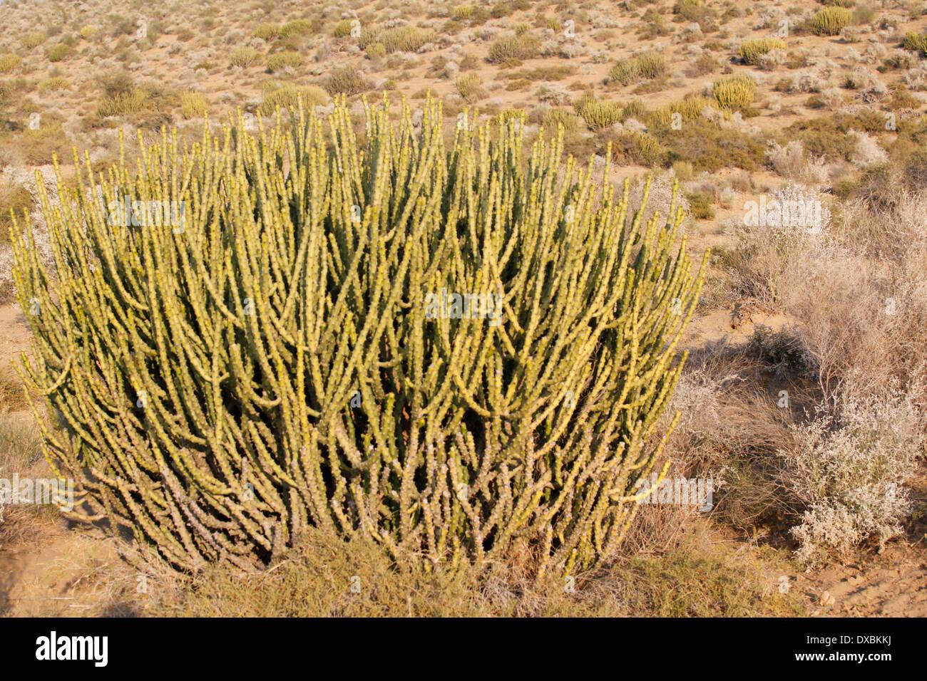 Cactus. Thar desert, Jaisalmer. Rajasthan, India Stock ...