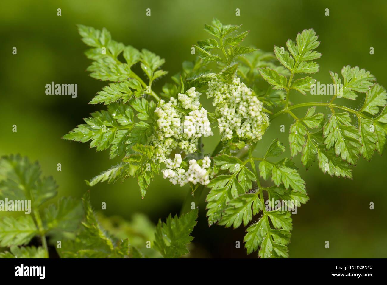 Garden chervil Echter Kerbel Anthriscus cerefolium Stock Photo