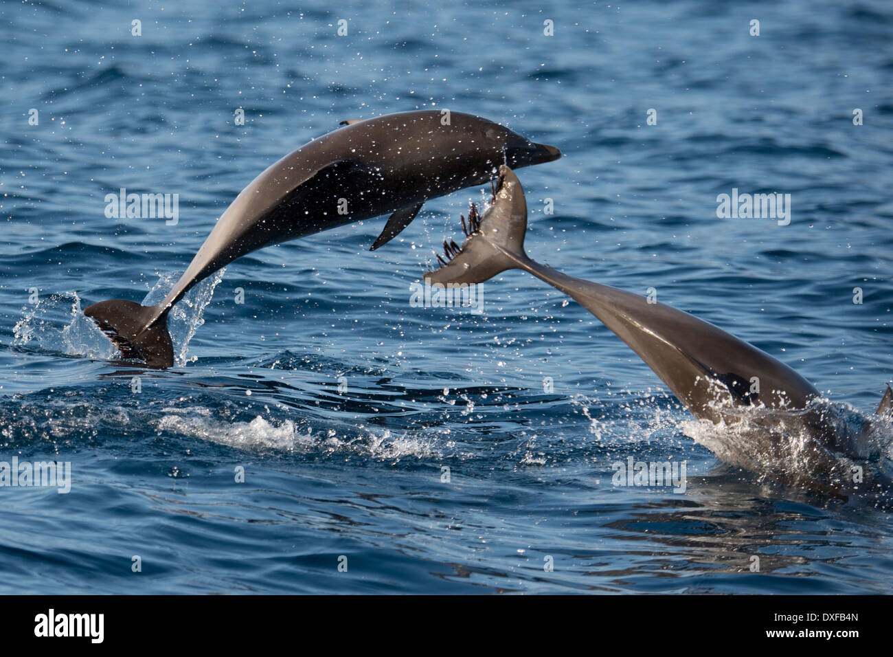 Atlantic spotted dolphins stenella frontalis two young animals atlantic spotted dolphins stenella frontalis two young animals porpoising la gomera canary islands atlantic ocean sciox Choice Image