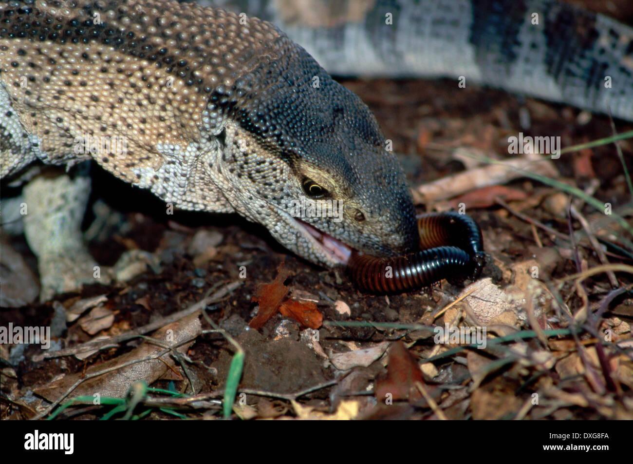 Giant centipede eating snake