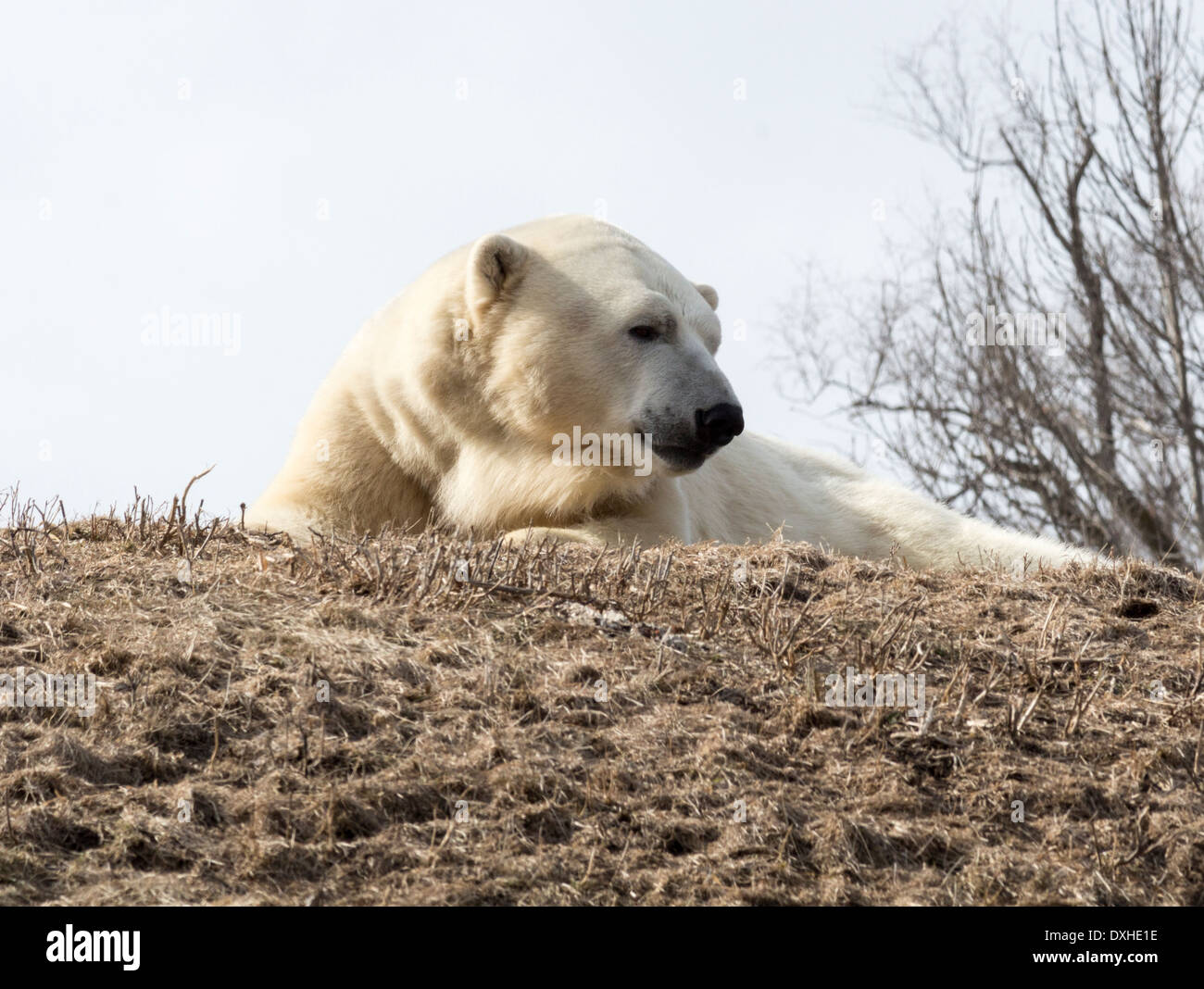 polar bear lying down relaxing in the sun at the toronto zoo