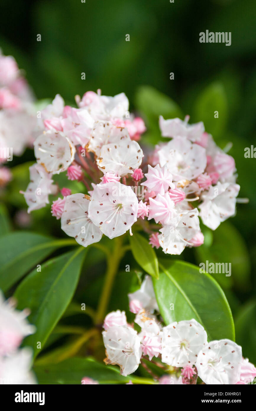 Kalmia Latifolia, Mountain Laurel Or Calico Bush, Are Evergreen Shrubs  Which Flower In Spring
