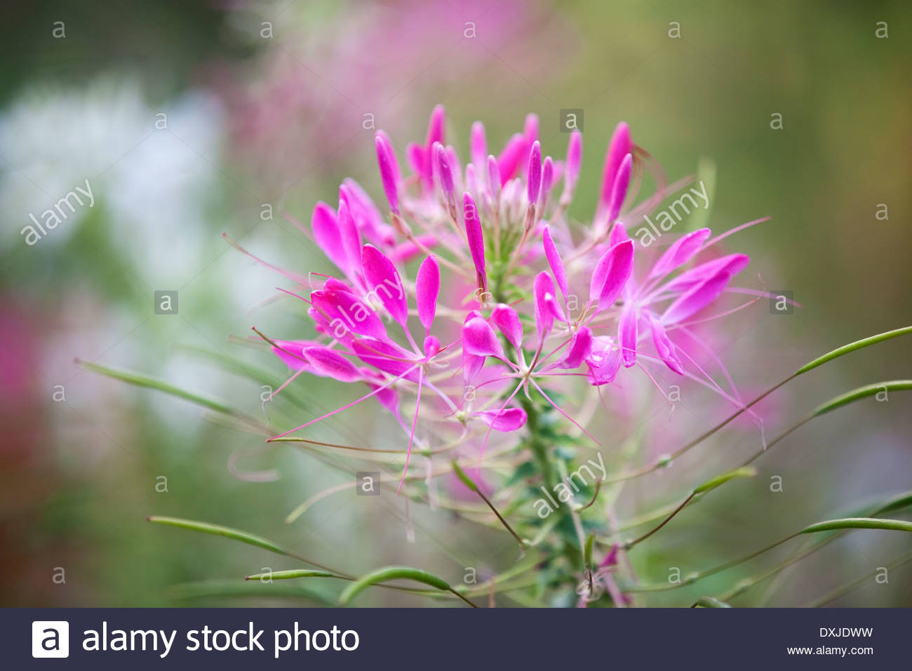 Cleome hassleriana Spider Flower Stock Royalty Free