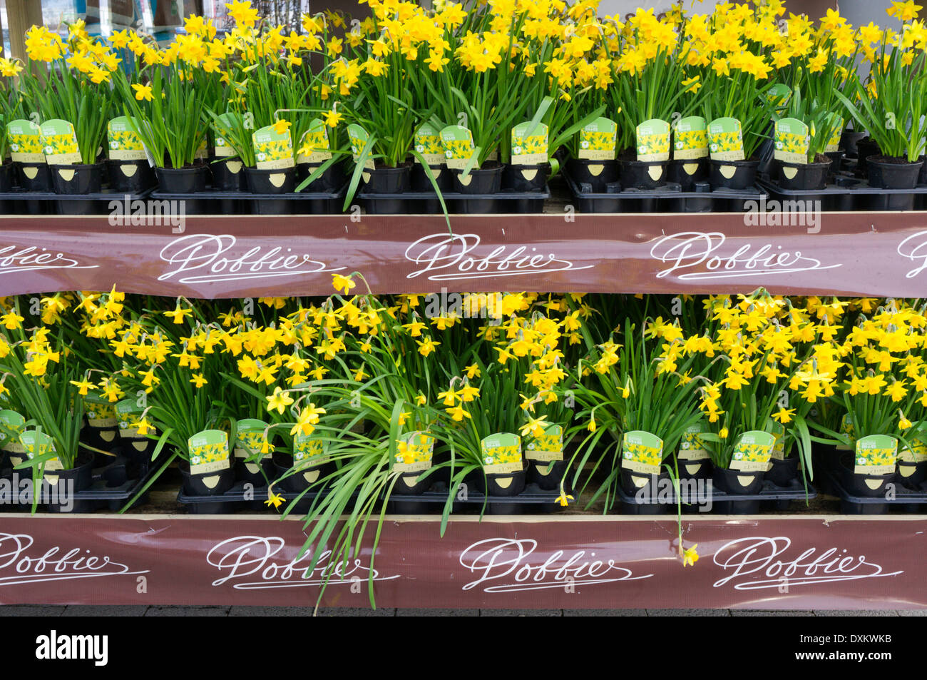 pots of tete a tete narcissus for sale at a dobbies garden. Black Bedroom Furniture Sets. Home Design Ideas