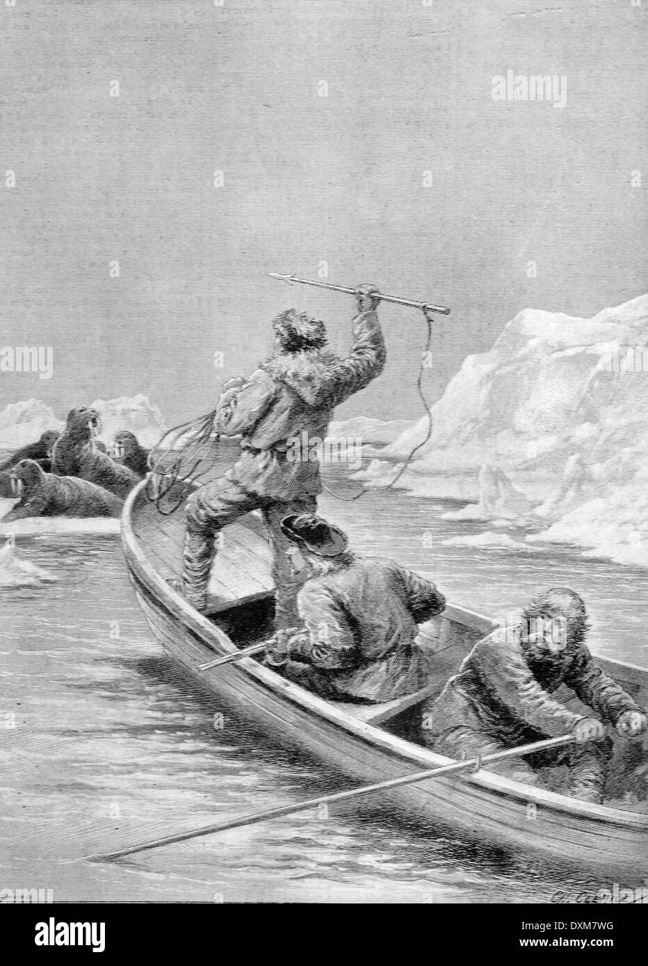 walrus hunt by norwegian explorer fridtjof nansen during his