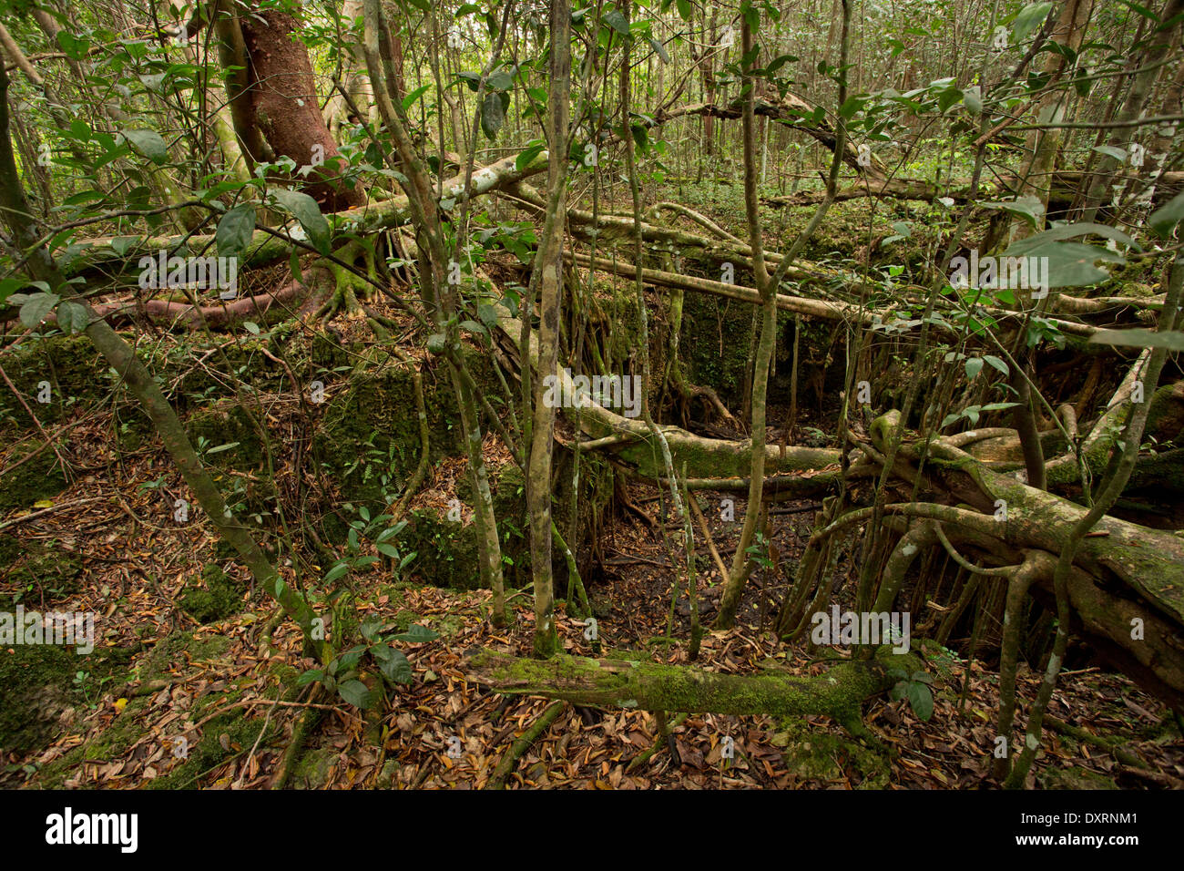 sinkhole or solution hole in miami oolite limestone bedrock at castellow hammock reserve miami florida sinkhole or solution hole in miami oolite limestone bedrock at      rh   alamy