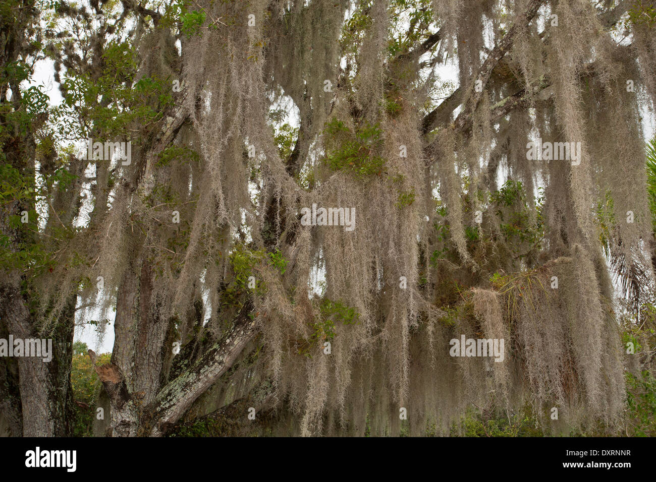 how to get spanish moss to grow on trees
