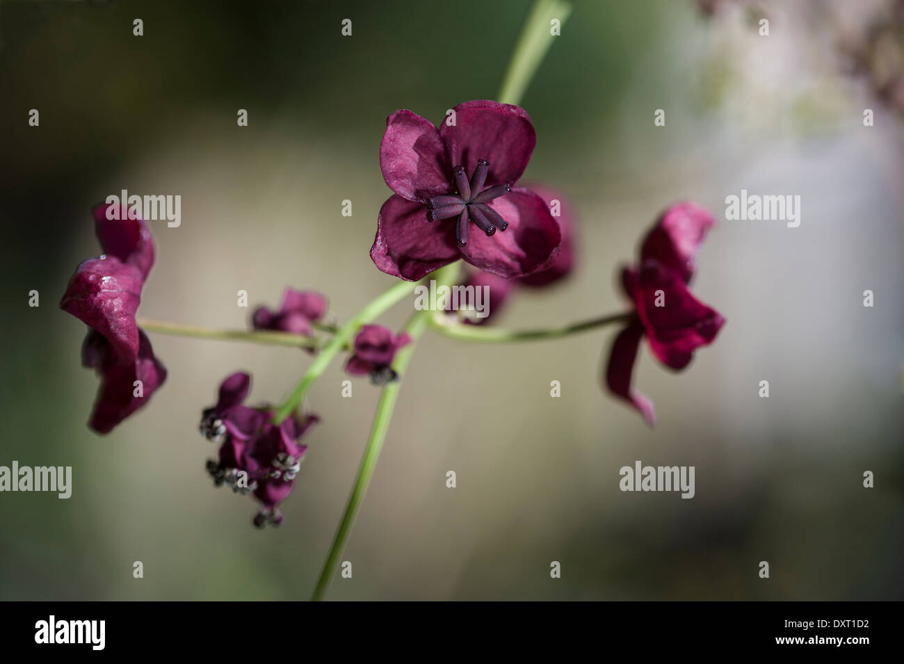Akebia quinata, chocolate vine Stock Photo, Royalty Free Image ...