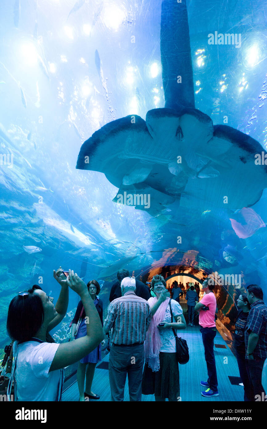 Fish aquarium in uae - People Taking Photos Of A Large Manta Ray In The Tunnel Dubai Aquarium And Underwater