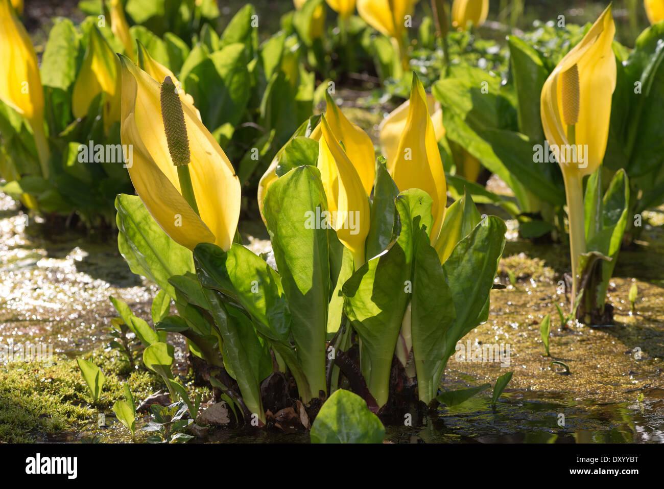 Wonderful Bright Yellow Backlit Swamp Lantern In Sunshine Skunk Cabbage  Patch
