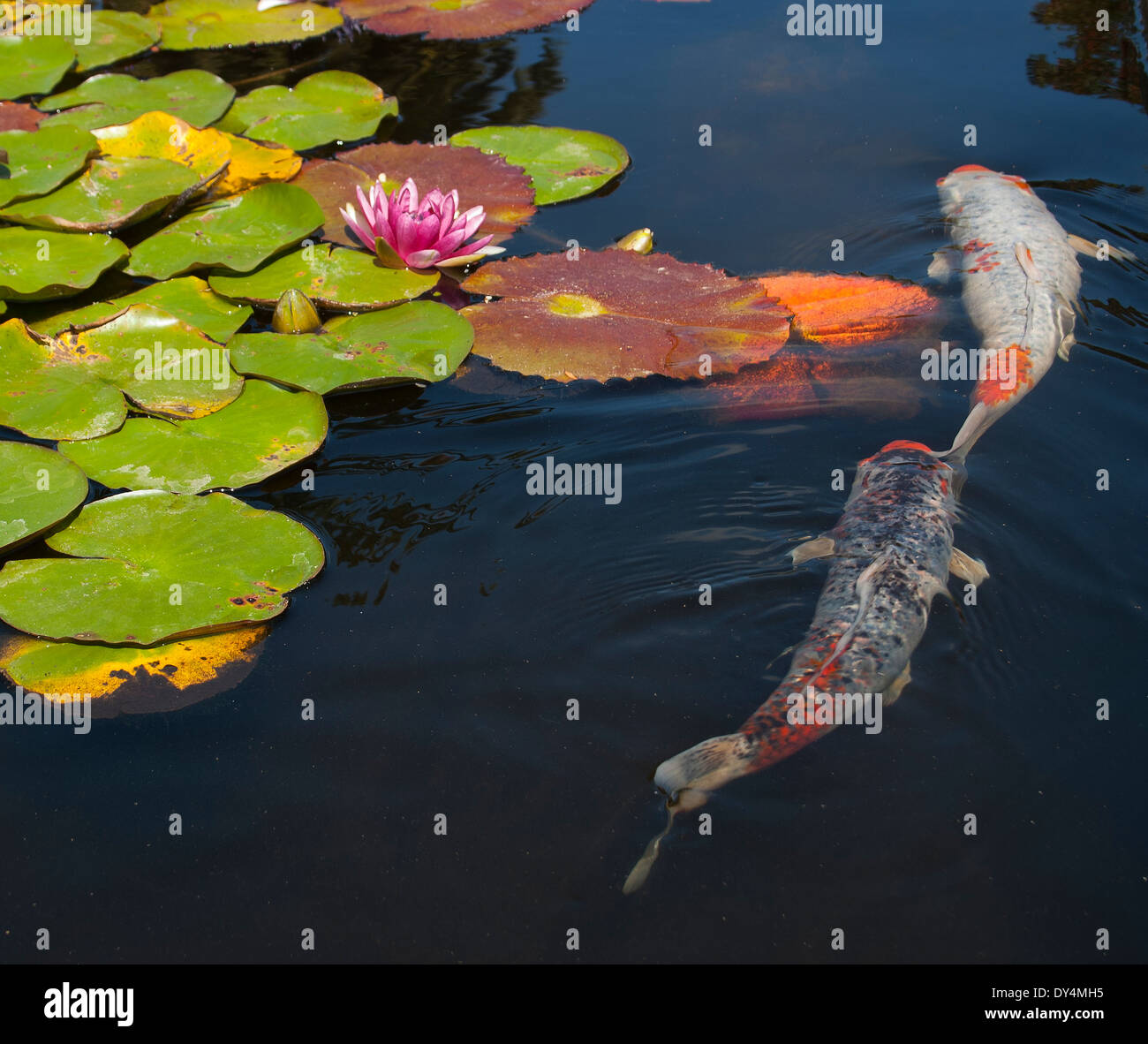 A lily pond with a lotus flower blooming while two koi for Koi fish pond lotus