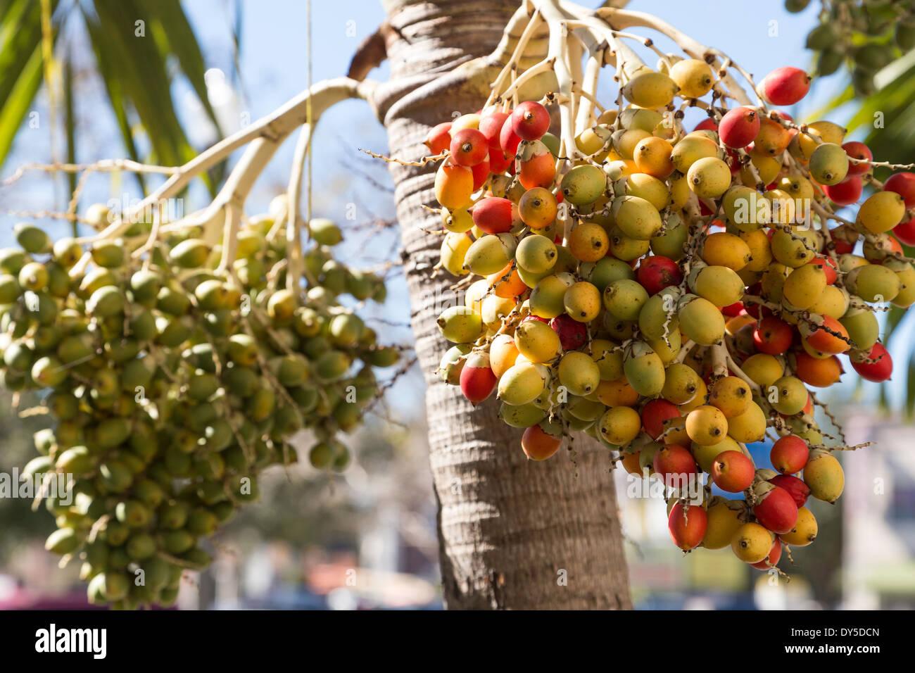 Palm Tree Fruit St Petersburg Florida Usa Stock Photo