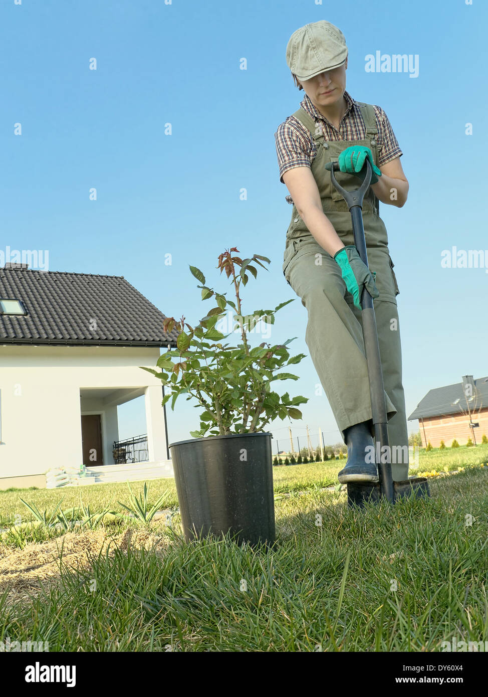 female gardener digging a hole with spade in order to plant a rose