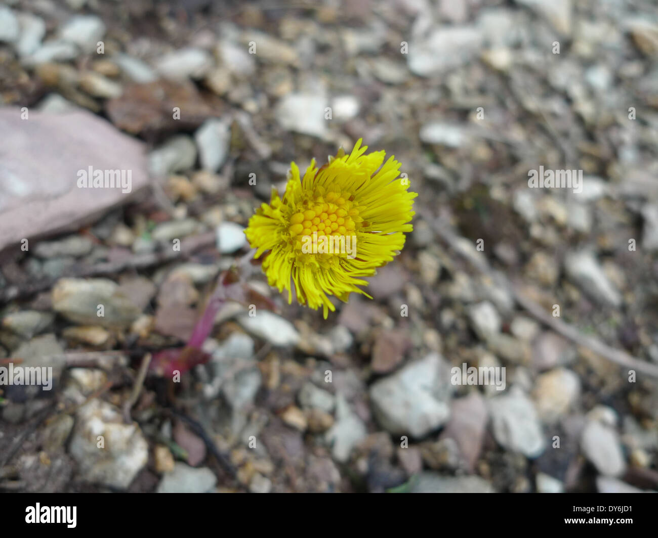 Spring flower – Coltsfoot Tussilago farfara in the French alps Stock