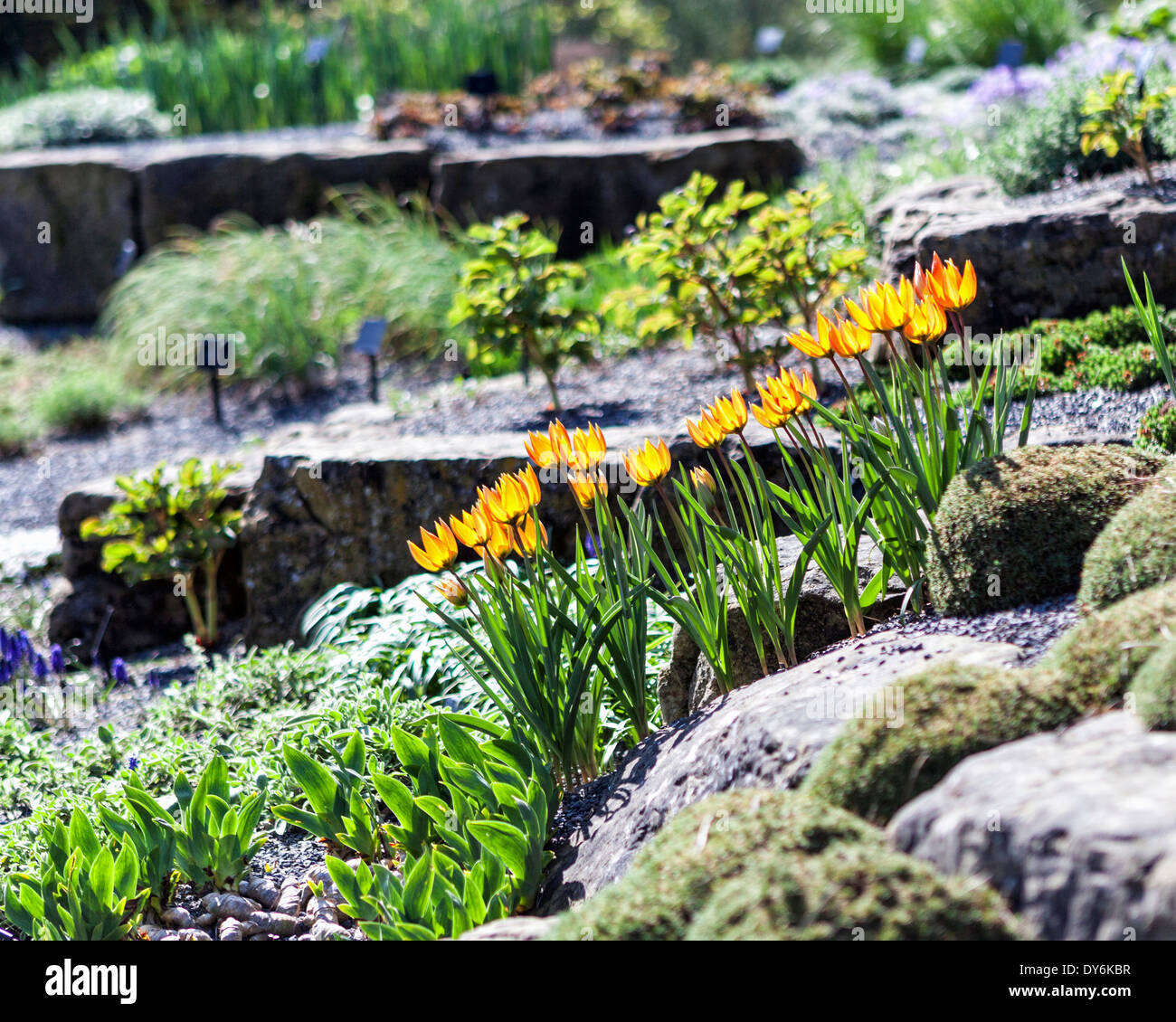 Yellow Tulips And New Growth In The Alpine Garden And Rockery At Kew Gardens  In Spring. London, UK