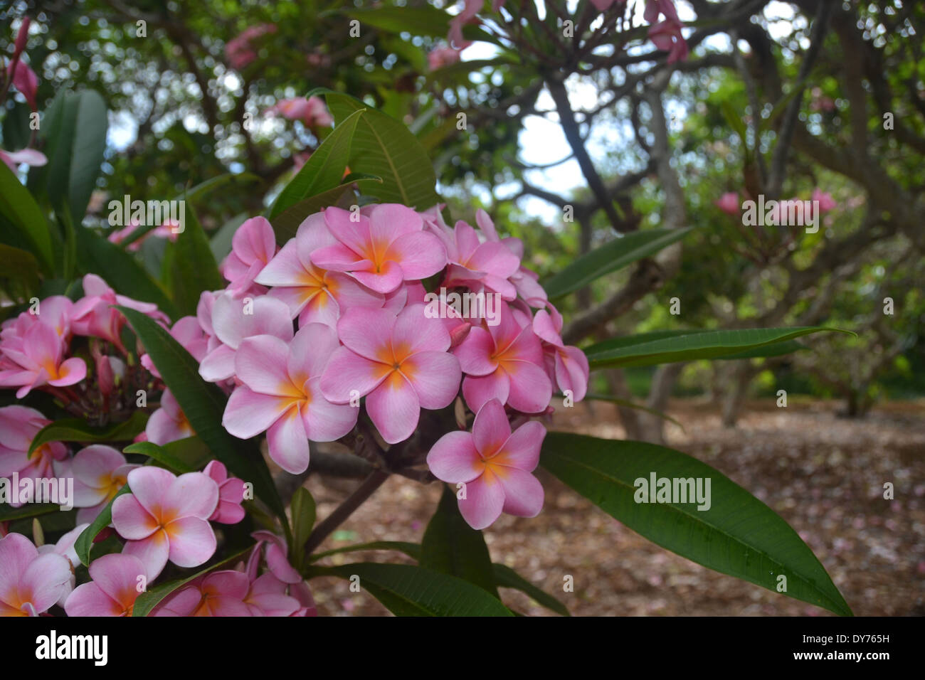 Pink Plumeria, Plumeria Sp., Plumeria Grove At Koko Crater Botanical Garden,  Oahu, Hawaii, USA