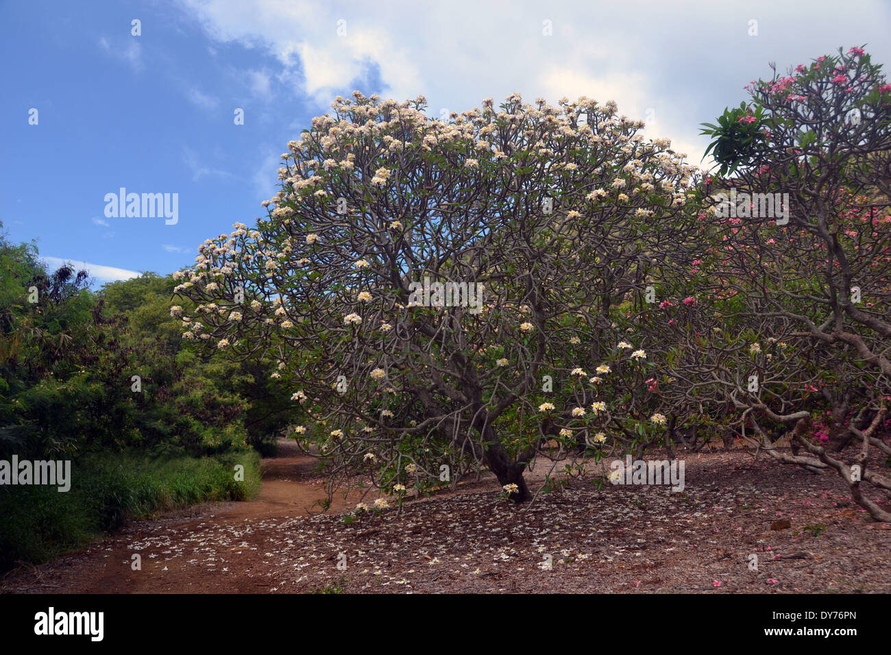 Plumeria Tree, Plumeria Sp., Plumeria Grove At Koko Crater Botanical Garden,  Oahu, Hawaii, USA