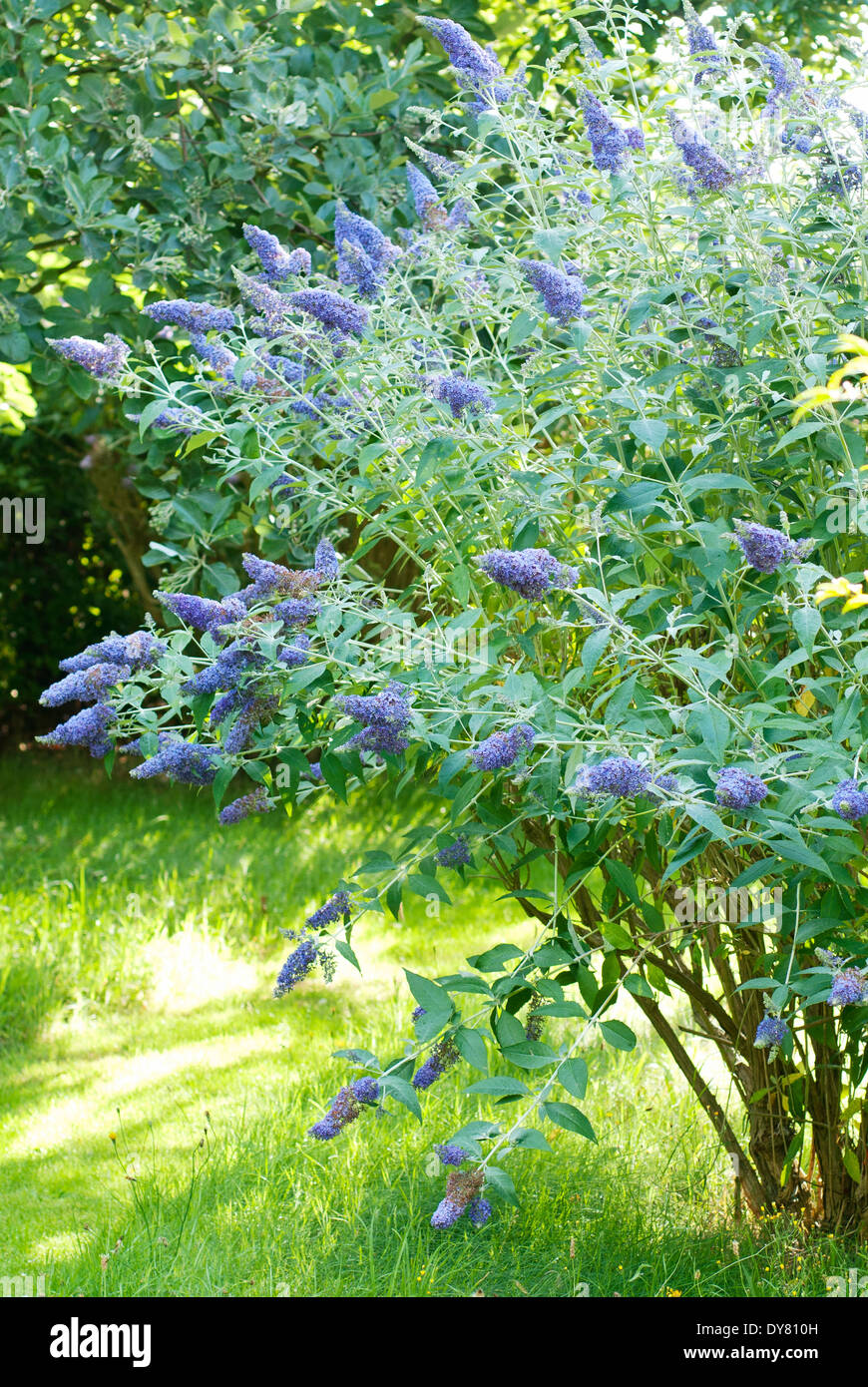 Shrubs with purple flowers at end of branch - Buddleja Lochinch Butterfly Bush Shrub July Summer Bush Covered