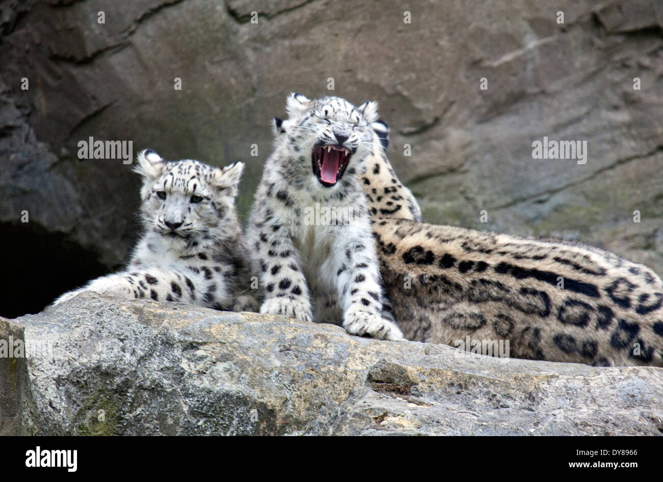 Snow leopard cubs with mother