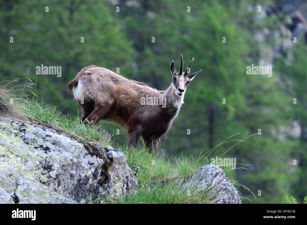 Chamois Mountain Goat Chamoises Rupicapra Fur Change Summer Game Wild Animals Alpine Animal Europe