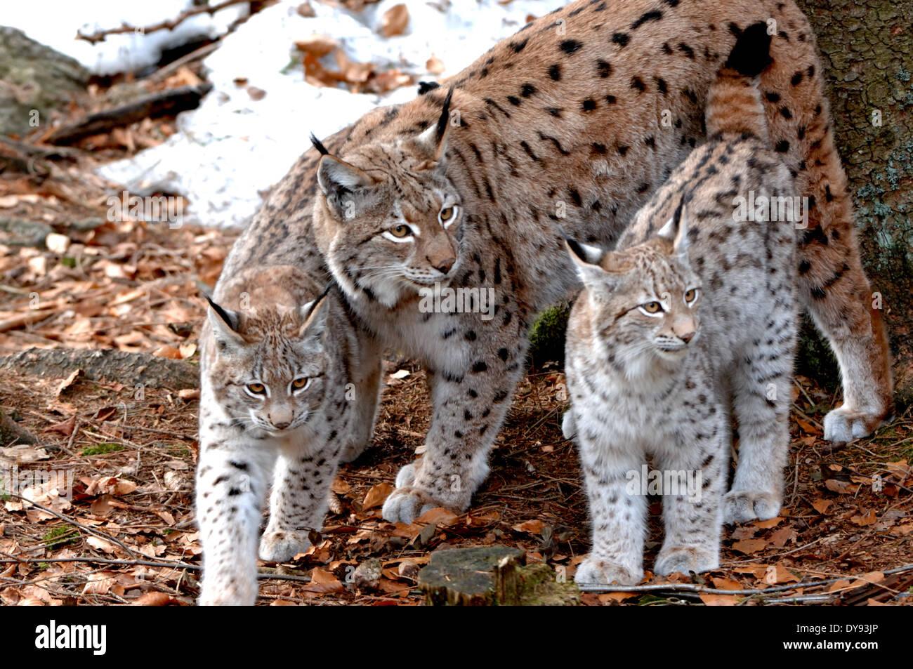 Worksheet. Lynx cat big cat predator cats wildcat big cats lynxes fur