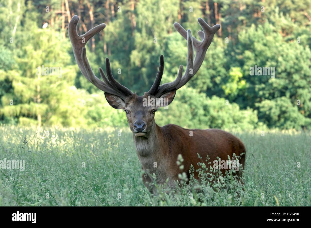 New zealand red deer antler velvet