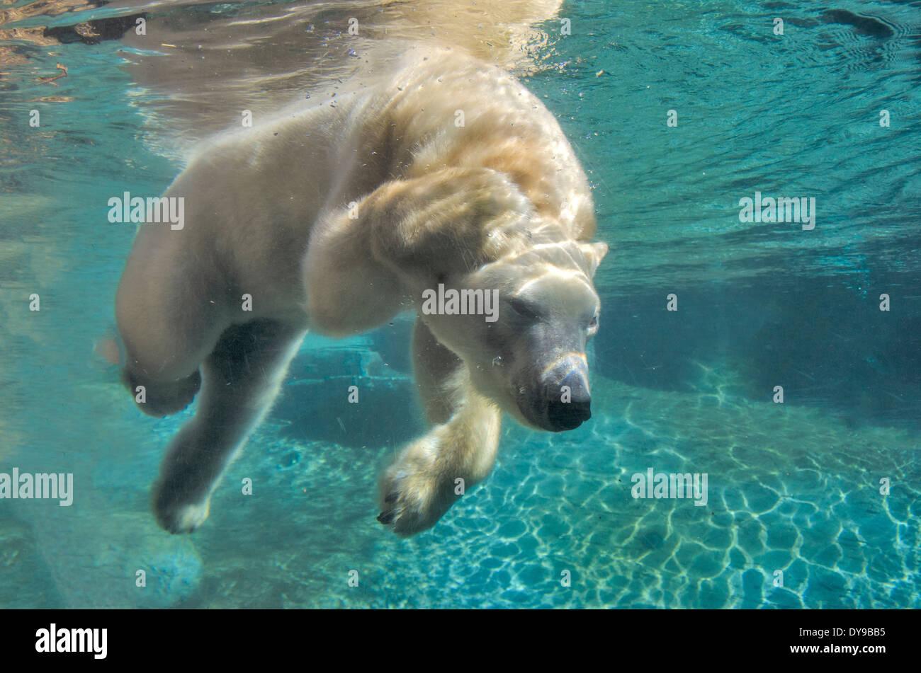 polar bear swimming underwater bear animal stock photo