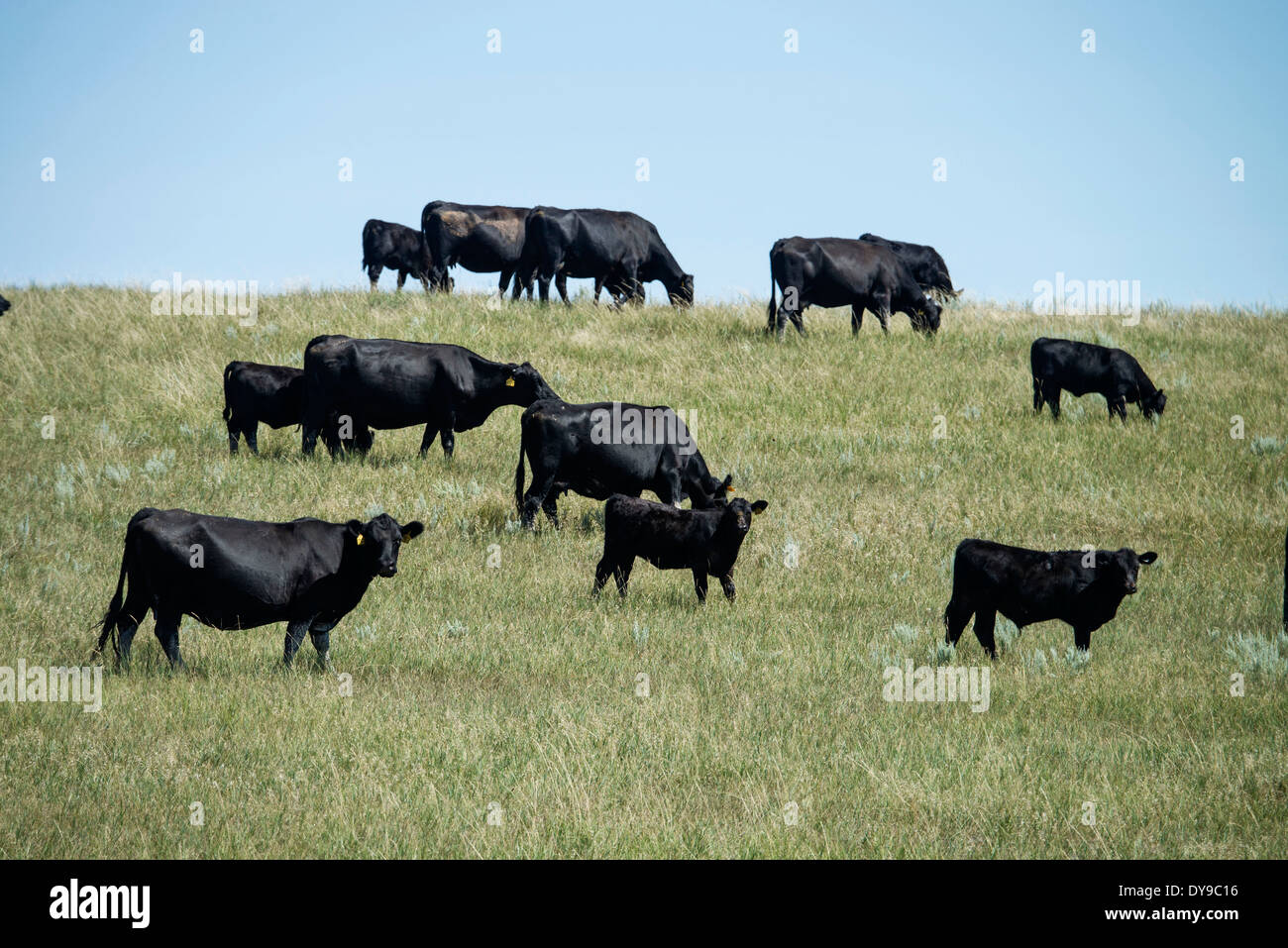 black angus cattle cows prairie south dakota usa. Black Bedroom Furniture Sets. Home Design Ideas