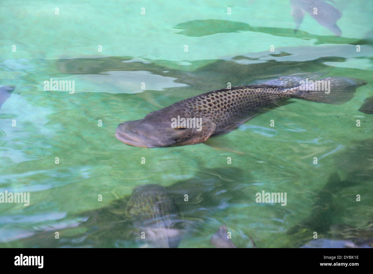 Adult mozambique tilapia oreochromis mossambicus oahu for Tilapia swimming