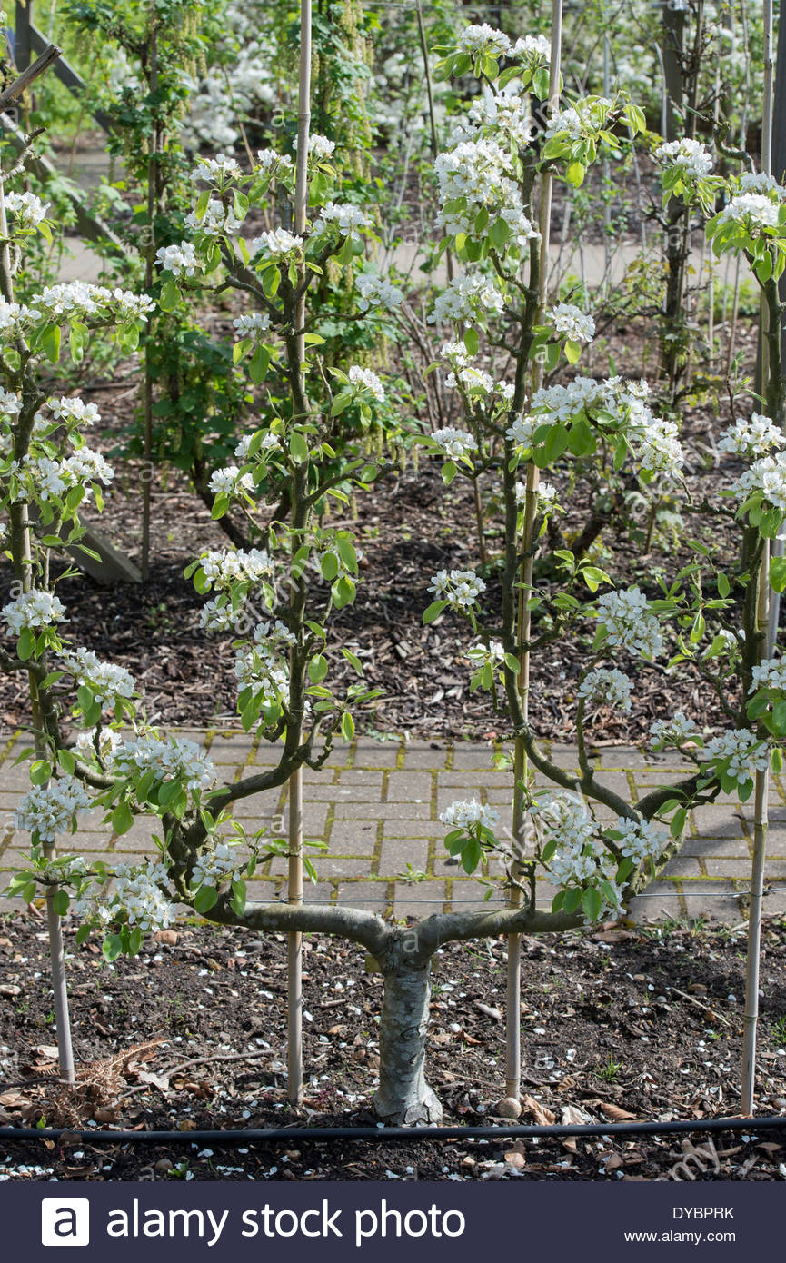 Pyrus communis Conference. Fan trained Pear tree in ...